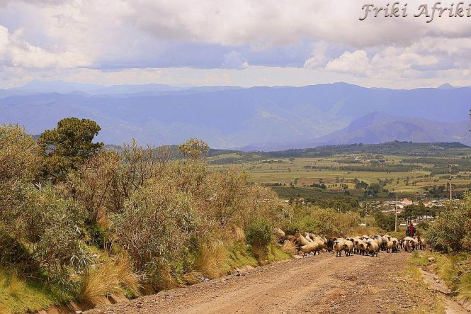 Owce idą...