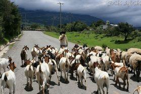 Pasterze prowadzą stada owiec i kóz