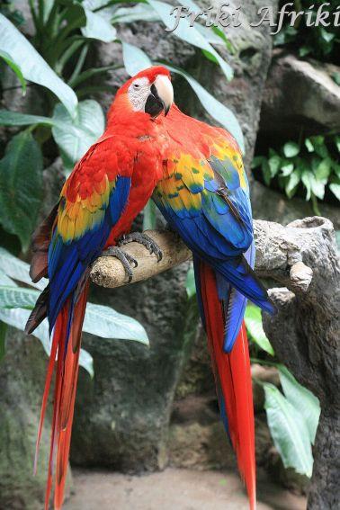 Papużki nierozłączki?