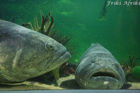 Ogromna ryba mero (granik)
