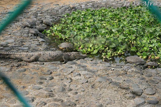 Krokodyl i żółwie mogą się dogadać