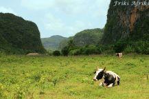 Krowa też wygląda na zrelaksowaną