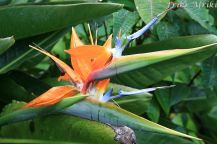 Kwiat zwany pajarito