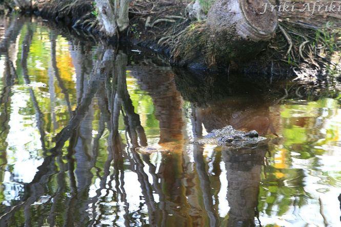 Ten niby pieniek w wodzie to krokodyl